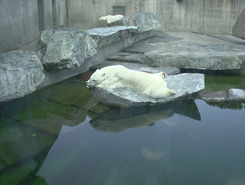 Wilhelma Polar Bear CC
