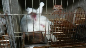 angora rabbit in cage with eye discharge 1