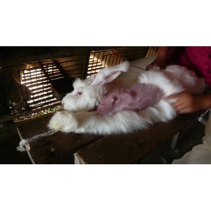 Angora Investigation Reveals Screaming Bunnies Plucked Alive