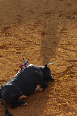 Injured bull in the arena after being attacked by matador, Spain