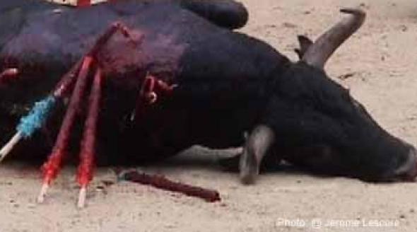 bull_dying