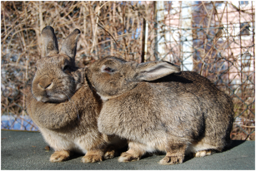 rabbits are just some of the animals harmed in experiments in UK laboratories
