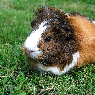 cute guinea cc