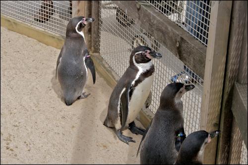 depressed penguins