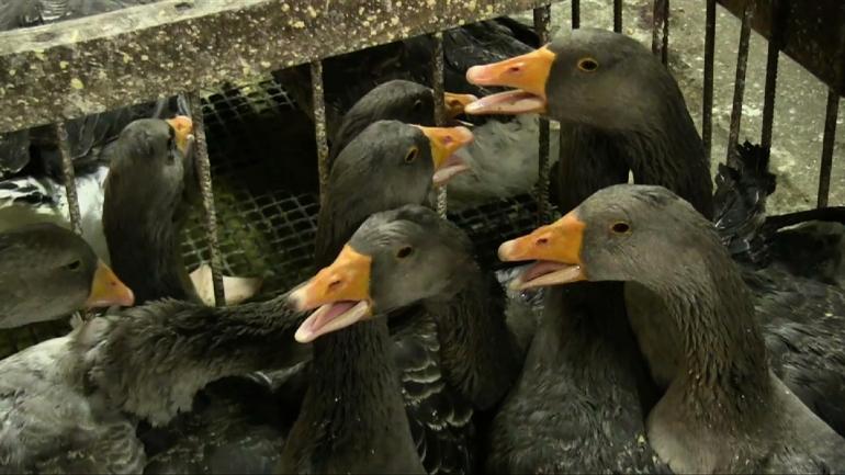 Geese crammed in pen on foie gras farm