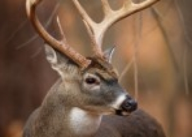 Victory for Deer in Ireland