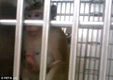 A macaque filmed as part of the investigation