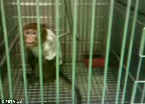 A macacque filmed as part of the investigation