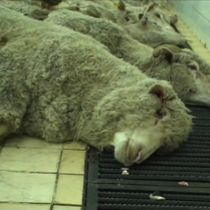 Help End the Hideously Cruel Live Export Industry