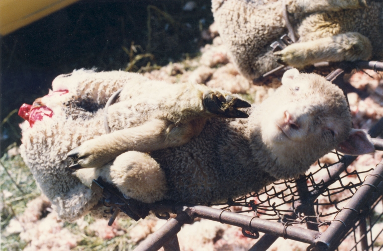 mulesed sheep on rack