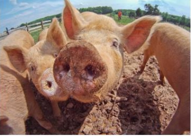 Michael Mansfield QC Passes Judgement on Pig 'Prison'