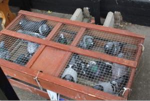 pigeon final