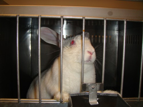 rabbit standing up with his front paws on the bars of the cage