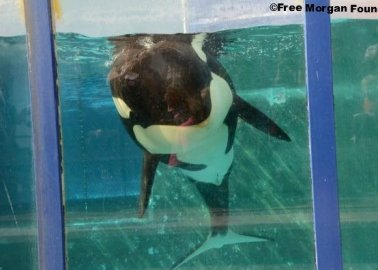 Orca Morgan Beaches Herself, Lies Motionless on Concrete Slab Beside Her Tiny Pool at Loro Parque