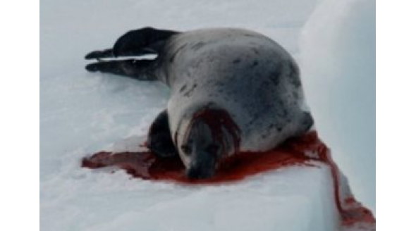 sea-shepherd-seal-photo.jpg