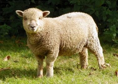 sheep10-500x375.jpg
