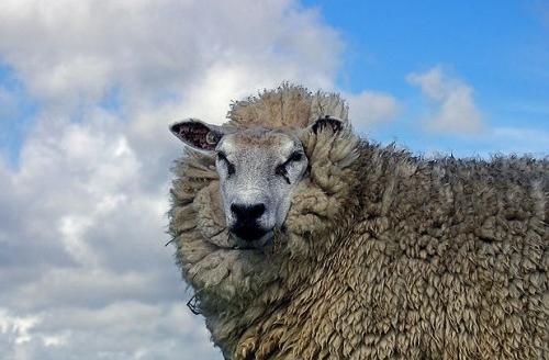 sheep6-500x388.jpg