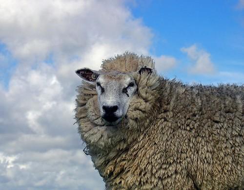 A F-ewe Surprising Facts About Sheep