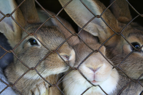 stock caged rabbits