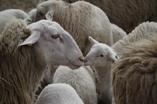 stock cute sheep