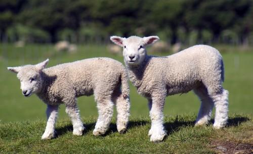 stock-lambs-500x305.jpg