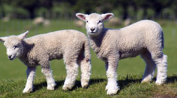 Lambs are killed for meat