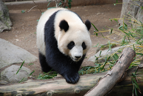 Breeding pandas in captivity is all about the money.