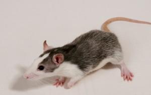 stock rat