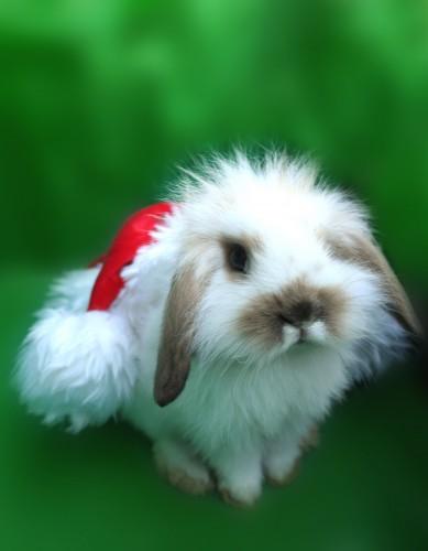 stock xmas bunny