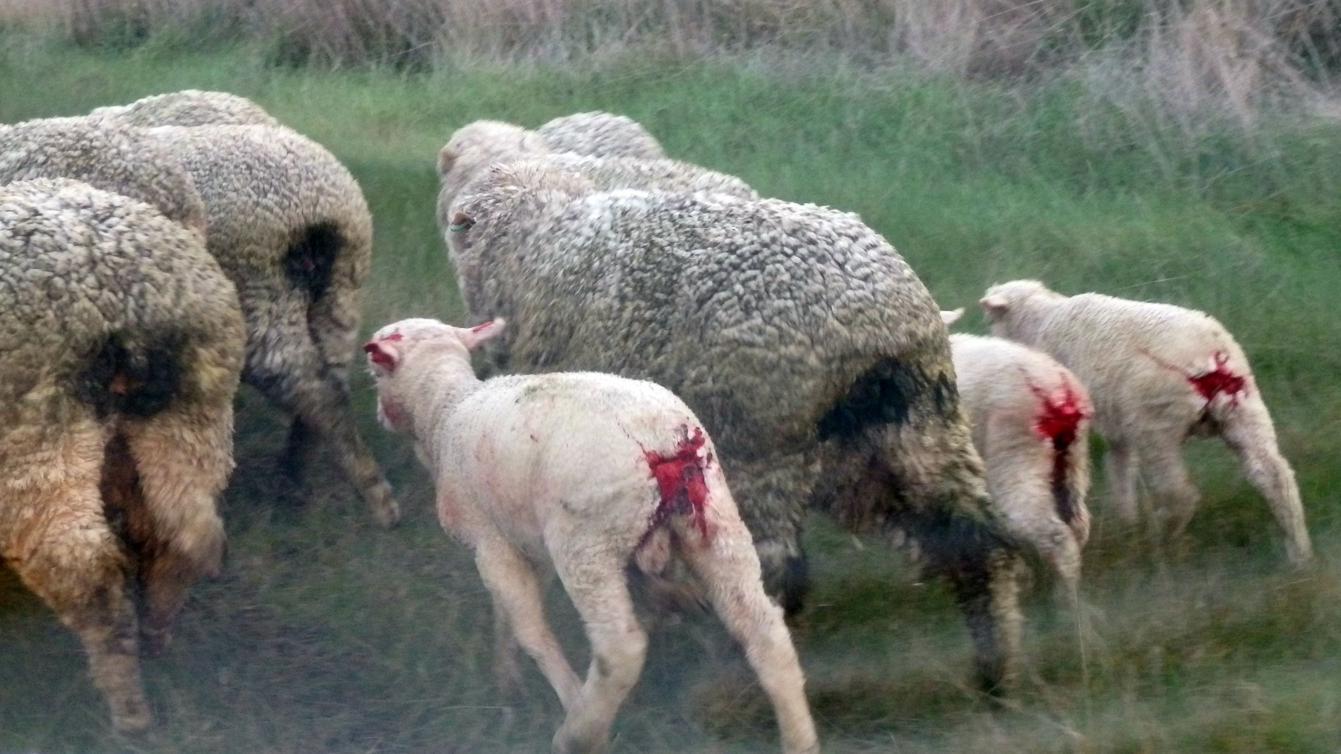 exposed sheer misery for sheep people for the ethical treatment