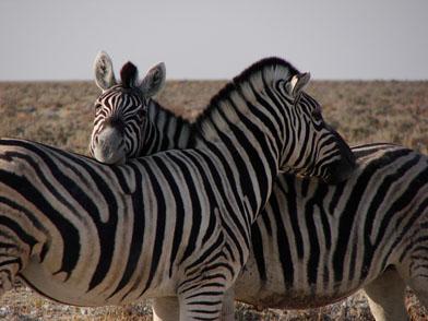 zebras wild