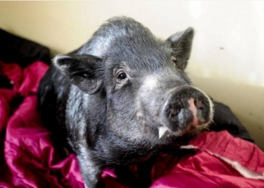 A Pig Given a Chance at Life: Meet Fella