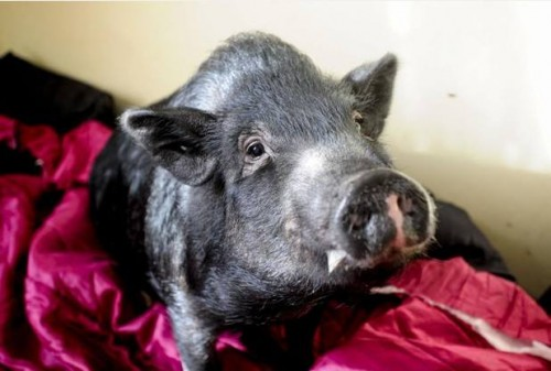 Fella the Pig!
