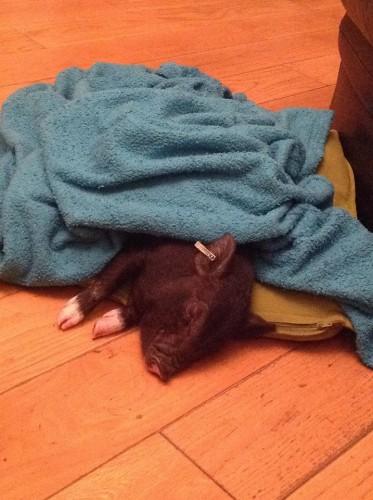 Napping Fella the Pig