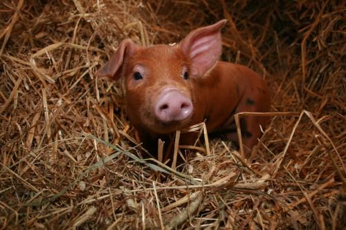 4-pig-dog