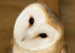 Barn Owl_mini