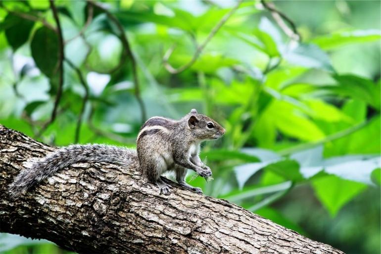 Wildlife grey squirrel