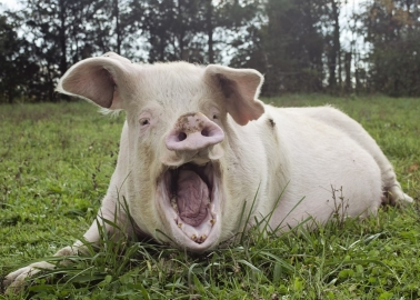Victory! Foston 'Pig Prison' Application Withdrawn After 35,000 of You Take Action