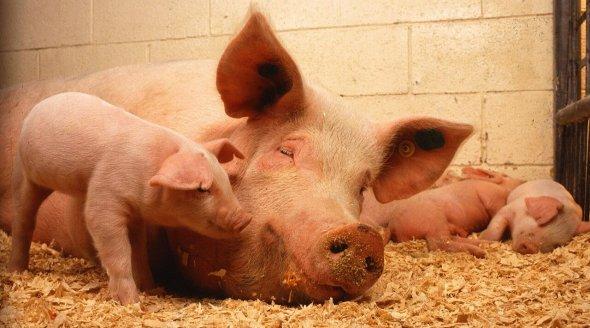 Farm animal mothers