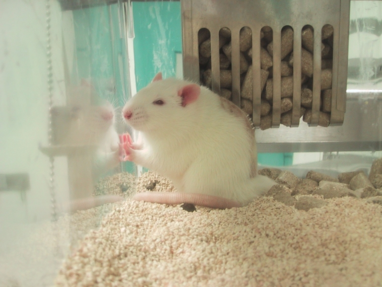 UNC laboratory mouse