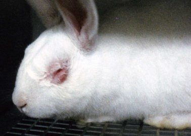 Despite the Ban, Animal Tests for Cosmetics Are STILL Taking Place in the EU