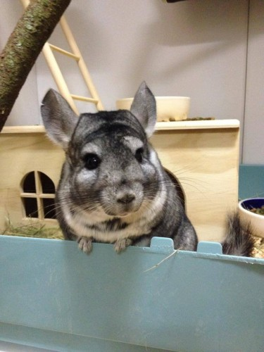 Chinchilla in house