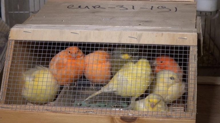 NL pet trade_birds transport