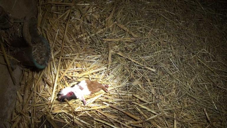 NL-pet-trade_dead-guinea-pig highlight