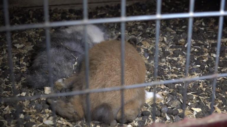 NL pet trade_dead rabbits