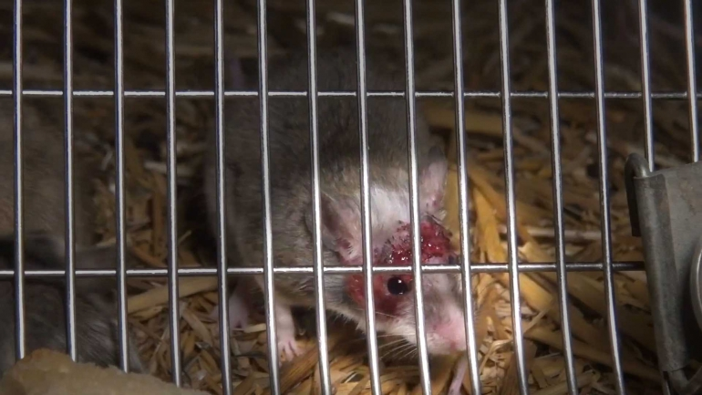 NL-pet-trade_mouse-wound_highlight