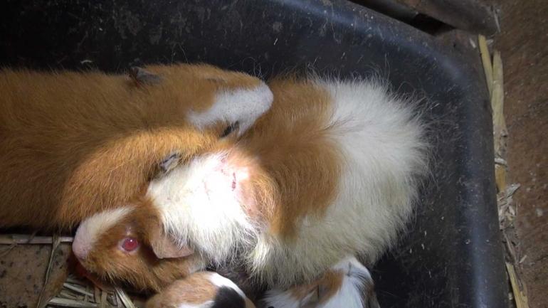 NL-pet-trade_sick-guinea-pig_highlight