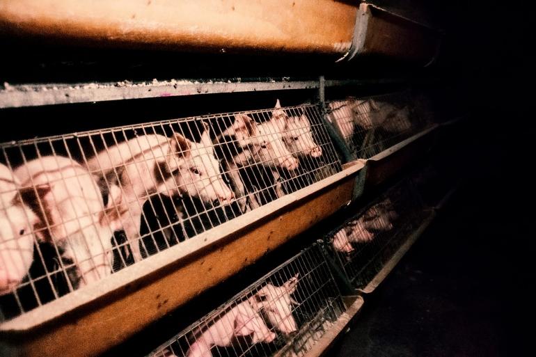 Caged piglets