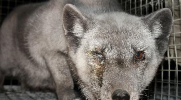 Fur Finland grey fox (oieuketta)