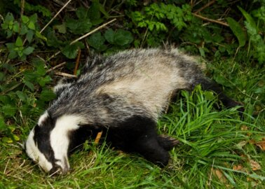 10,866 Badgers Have Been Killed in This Year's Culls